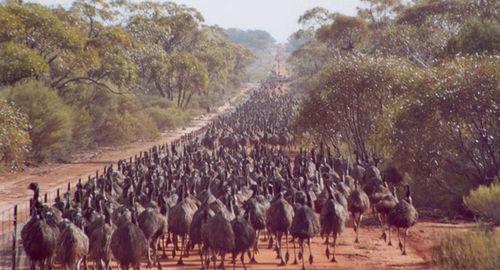 Emu Army